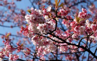Floraison des cerisiers au Japon : tout savoir pour planifier son voyage
